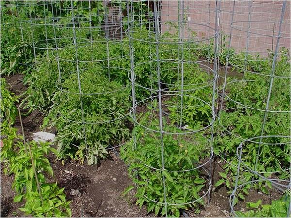 Как подвязывать помидоры, преимущества процедуры, видео