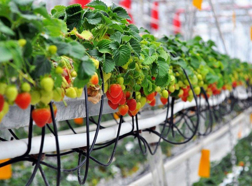 Как часто нужно поливать клубнику, чтобы получить богатый урожай: подробные рекомендации, правила полива до и после цветения, уборки урожая, как экономить воду с черной плёнкой