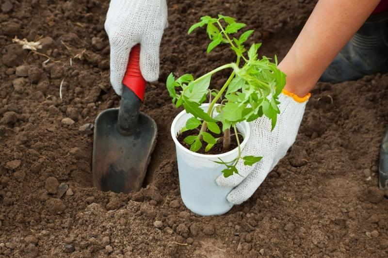 Когда высаживать рассаду помидоров в открытый грунт в 2019 году: урожайные дни мая для помидоров