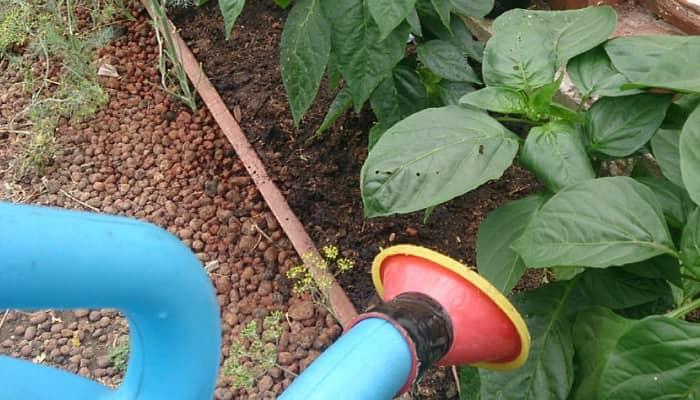 Летняя подкормка и защита перца от вредителей: ключевые рекомендации