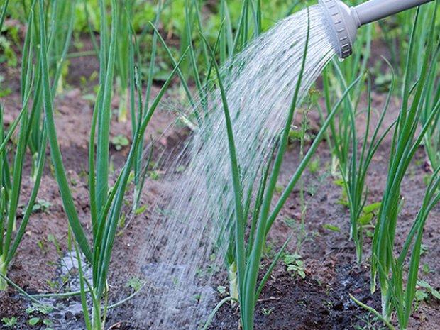Как поливать лук правильно: нужна ли процедура в целом, как определить необходимость в поливе вручную, насколько часто можно увлажнять посадки и когда полив лука стоит прекратить