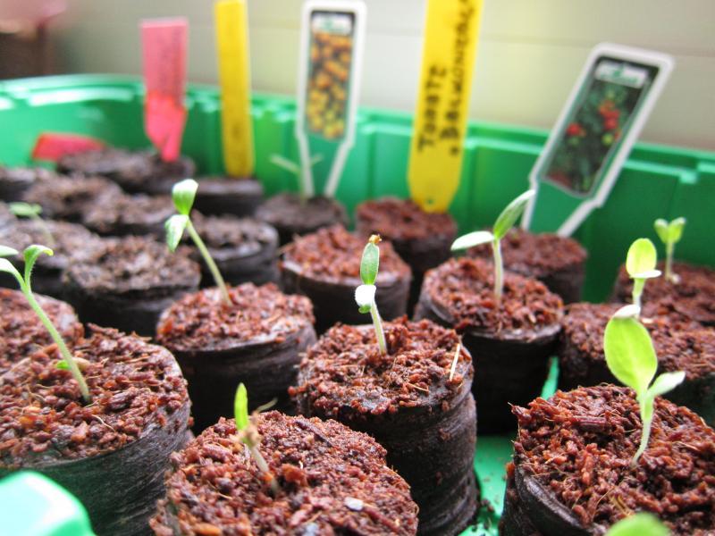 Лунный календарь для работы с рассадой помидоров в мае 2019: подробные подсказки от посева, пикировки до высадки росточков томата в грунт