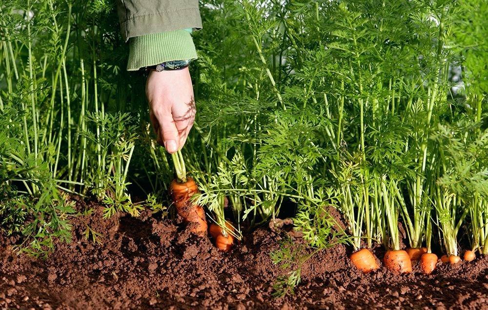 Календарь посадки моркови в конце мая 2019 семенами в открытый грунт: самые благоприятные дни лунного календаря, сроки созревания разных сортов, важные условия урожайного посева, что следует учесть и использовать в мае