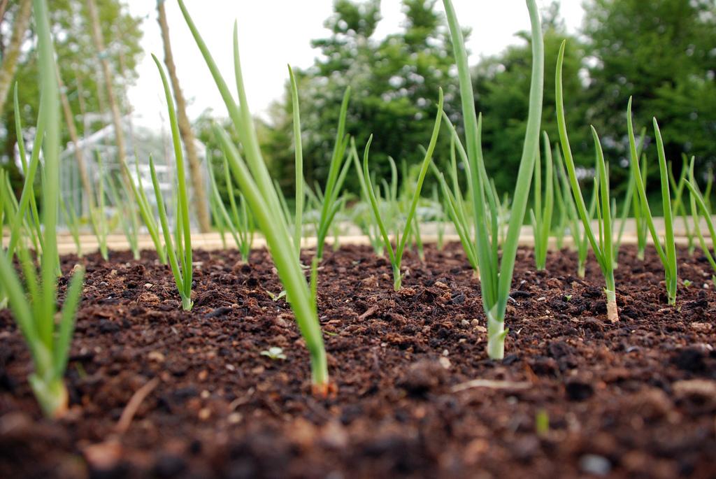 Полив лука в открытом грунте: нужен ли он вообще, как правильно увлажнять посадки в жару и в дождь, когда прекращать процедуру орошения насовсем