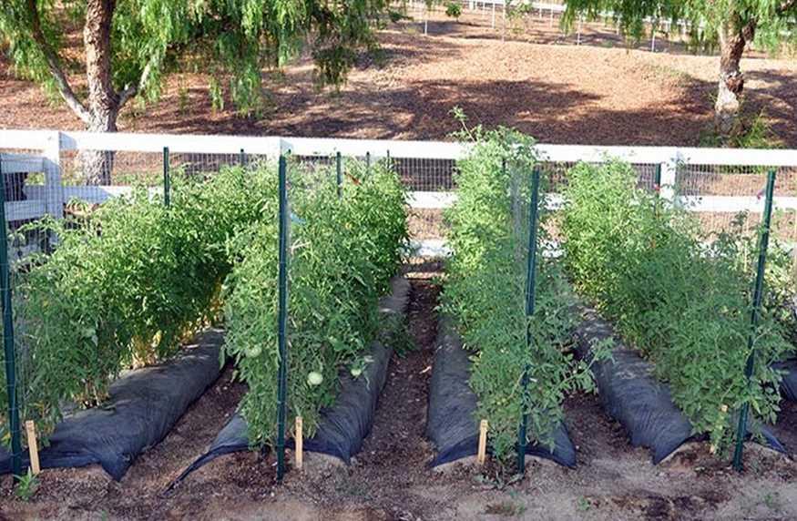 Как подвязывать помидоры? Разнообразные способы подвязки с фото, классические ошибки садоводов, бюджетные варианты формирования куста