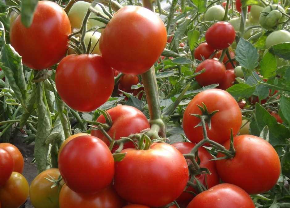 Как подвязывать помидоры в теплице и на открытом грунте правильно: самые практичные и универсальные способы подвязки, пошаговое описание, ценность приёма и последствия отказа от него