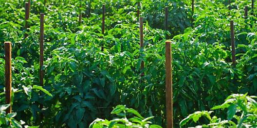 Подкормка помидор под корень и по листу: смеси и способы, экологически чистые составы