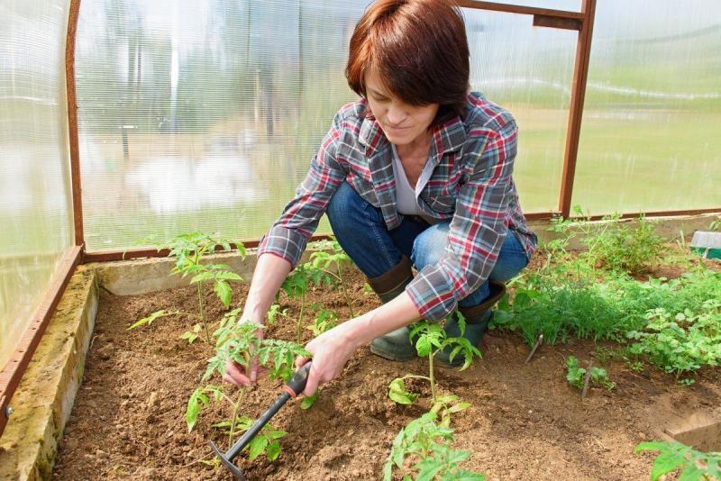Самое время высаживать рассаду помидоров в теплицу в мае 2019: как стоит выбирать дни, ключевые условия и правила высадки