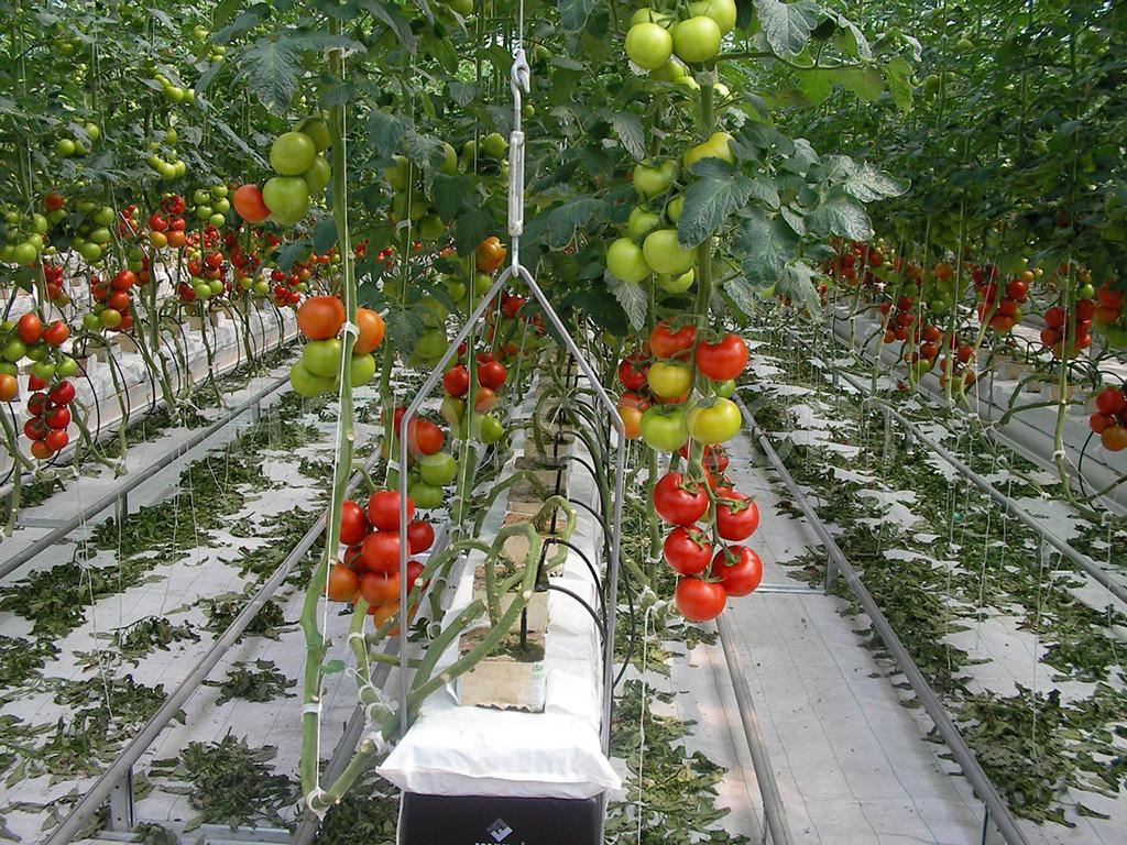 Самое время высаживать рассаду помидоров в теплицу в мае 2020: лунный календарь, как правильно выбирать день, ключевые условия и правила высадки, какая рассада помидор полностью готова к высадке