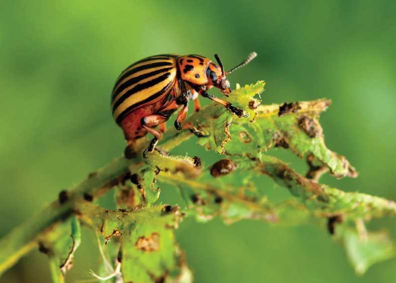 Защита от колорадского жука - нюансы выбора, эффективные народные методы и химические препараты: что использовать для обработки, составы и нюансы выбора
