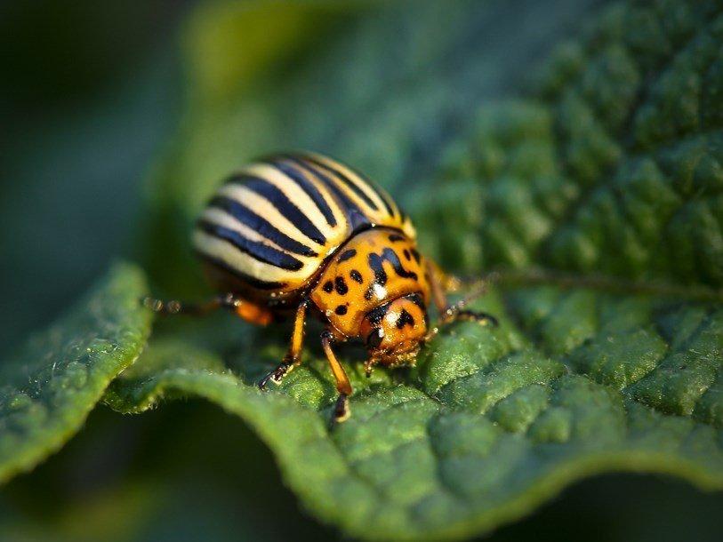 Колорадский жук: лучшее средство уничтожения колорадского жука, обработка картофеля до и после высадки в грунт, эффективные народные и химические методы