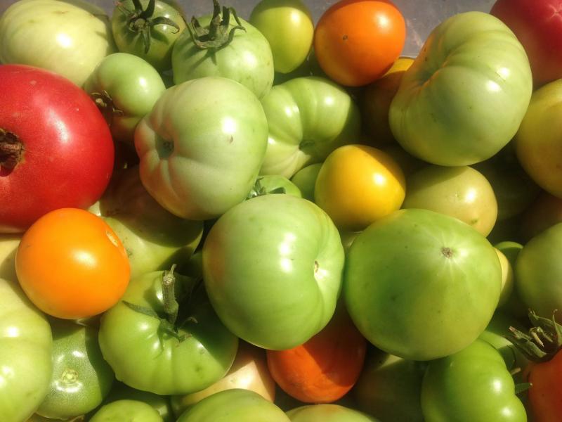 Что нужно сделать, чтобы помидоры очень быстро краснели в теплице, советы на весну 2019, апрель