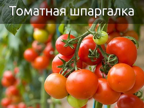 Летняя шпаргалка для томатов: важные правила выращивания помидор