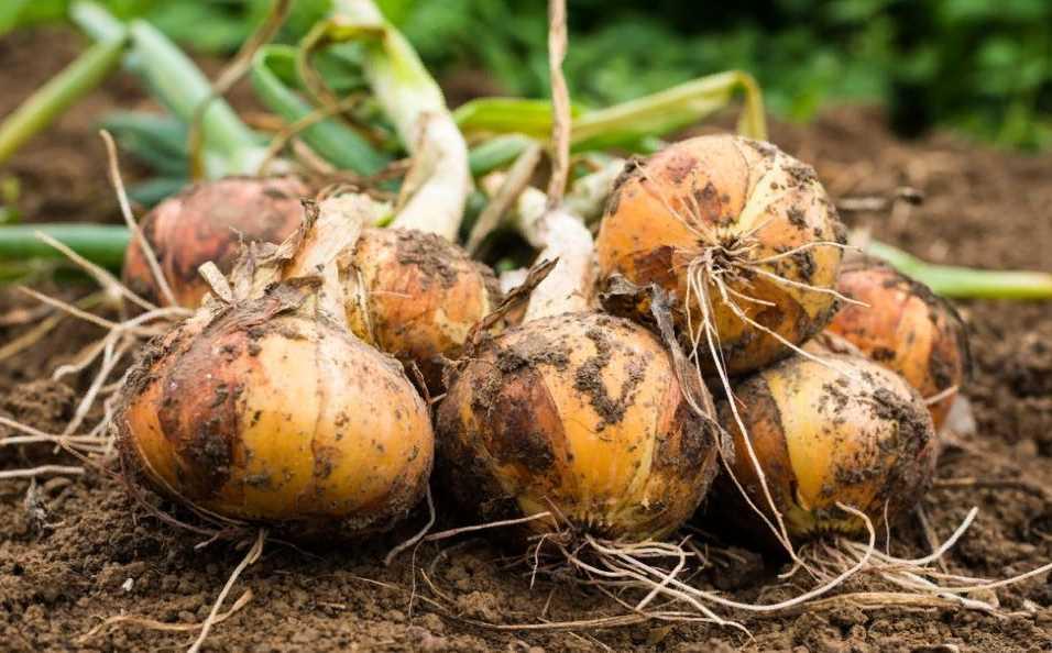 Подкормка лука на крупную головку: проверенные схемы удобрений, минеральные и народные составы улучшающие качество урожая