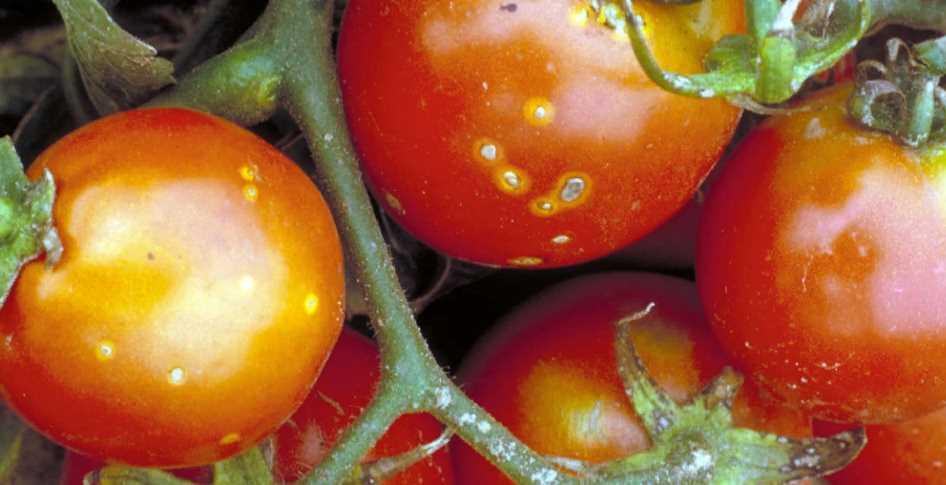 Самые частые болезни томатов в теплице и на открытом грунте: первые симптомы угрозы, профилактика и способы лечения