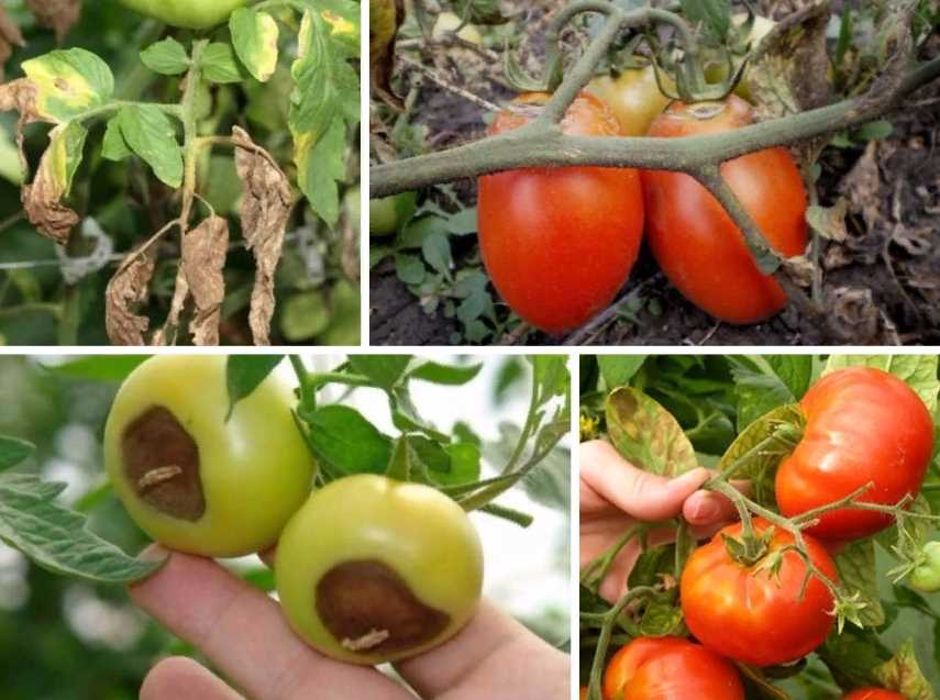Самые частые болезни томатов в теплице и на открытом грунте: первые симптомы угрозы с фото, профилактика и эффективные способы лечения