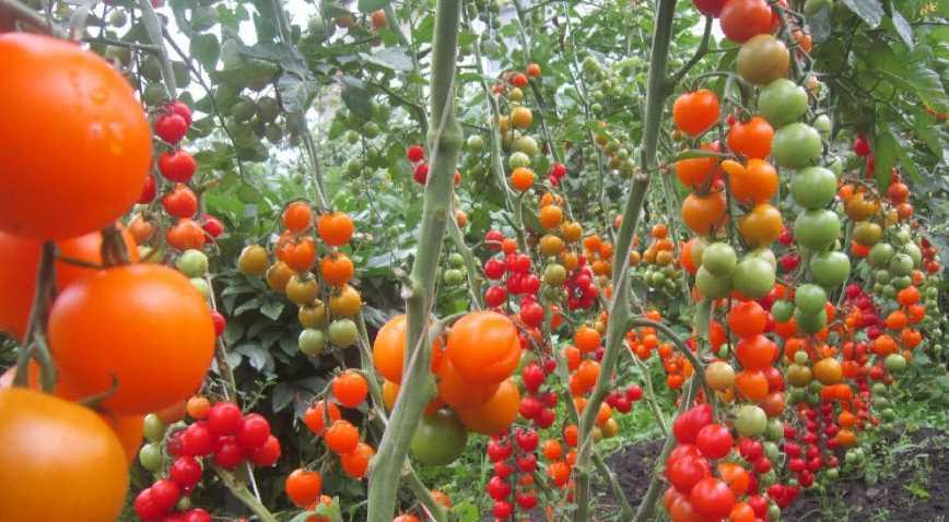 Летняя шпаргалка для томатов: подробное собрание всех самых важные тонкостей и правил выращивания, удобрения, защиты помидор