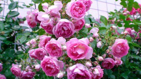 Благоприятные дни для посадки роз в 2019 году
