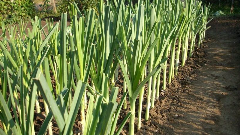 Что делать с урожаем: можно ли лук порей оставить в земле на зиму и как лучше подготовить его к зимовке
