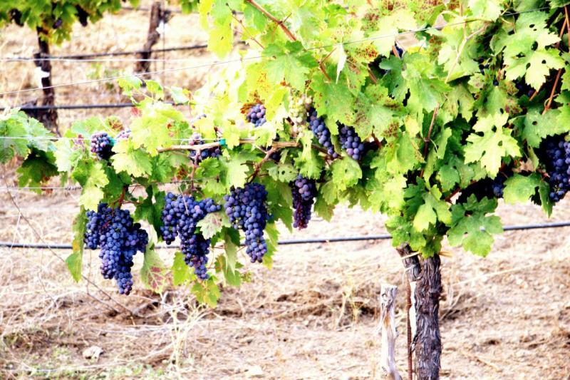 Как укрыть виноград на зиму: основные правила и рекомендации