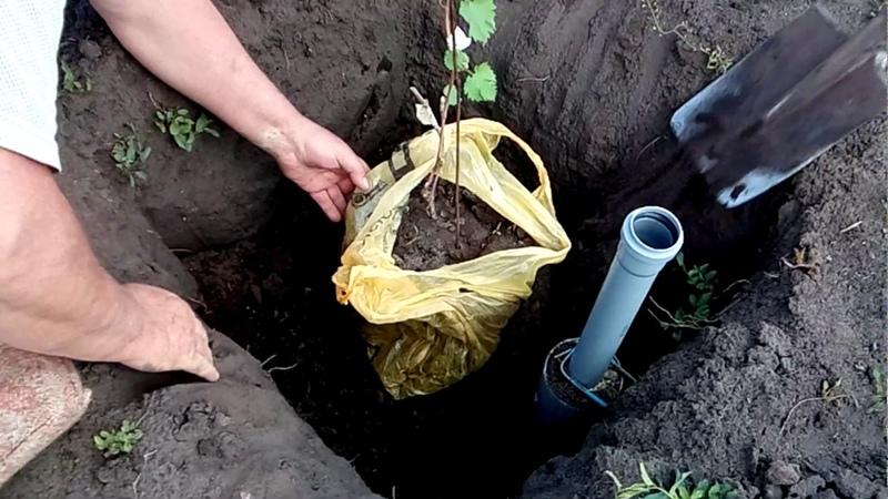 Когда и как правильно пересадить виноград на другое место осенью