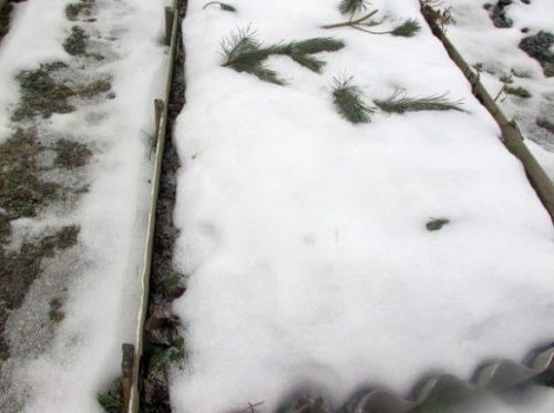 Сажаем лук в зиму. Какие сорта выбрать?