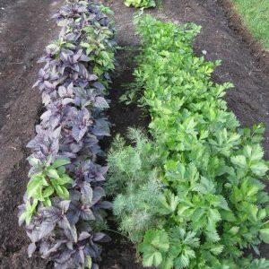 Совместимость растений: с чем рядом сажать базилик и почему это важно