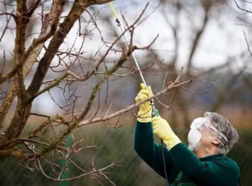 Осенние работы в саду: опрыскивание плодовых деревьев, побелка и обвязка