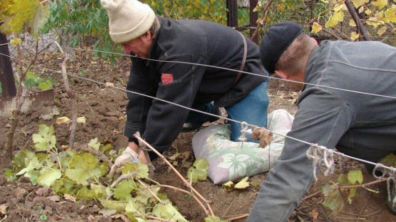 Подготовка винограда к зиме: секреты обработки осенью перед укрытием