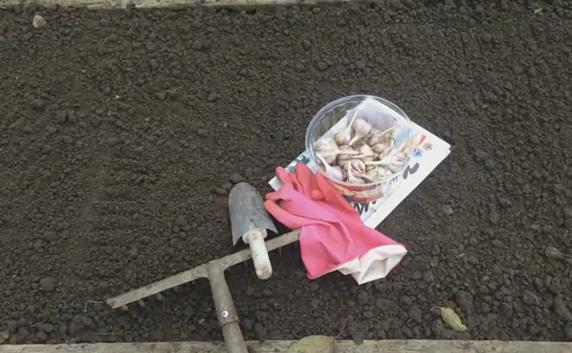 Посадка чеснока под зиму: когда и как сажать чеснок осенью 2019 по лунному календарю