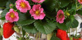 Выращивание клубники на подоконнике круглый год, отзывы