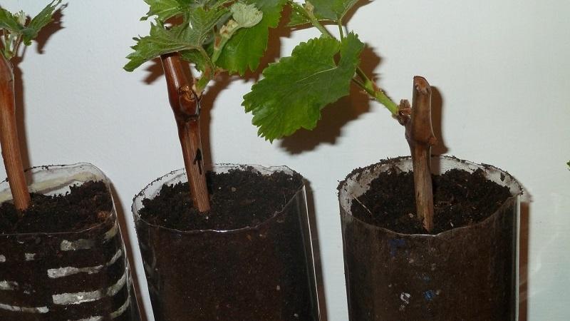 Как посадить виноград осенью черенками