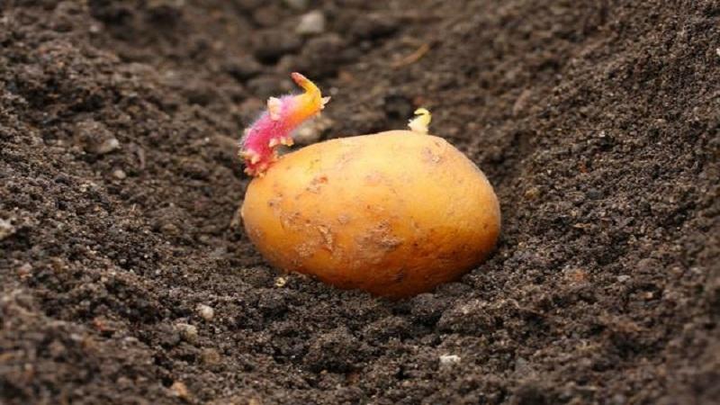 Как правильно сажать картофель, описание лучших способов посеять картошку