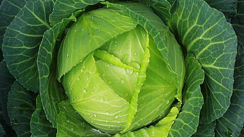 Подборка лучших сортов капусты для засолки и хранения на зиму