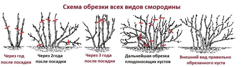 Сорт черной смородины Обыкновенное чудо: особенности, правила посадки, ухода и размножения